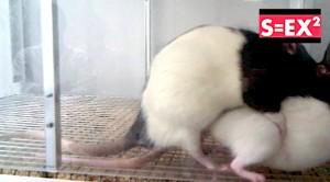 ratas copulando sex2